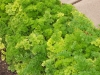 Curly Parsley Late October