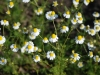 Chamomile Nobile German In Late May