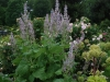 Clary Sage In Mid May