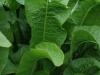Horseradish Herb Of The Year 2011