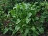 Horseradish Very Lovely Plant In June