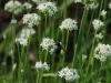Allium Schoenoprasum Blooms In August