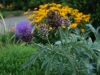 Cardoon, Rubeckia