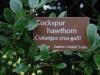 Cockspur Hawthorn