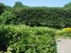 Cockspur Hedge-Summer