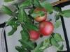 Apples on Espalier