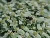 Polinators on Mt. Mint