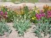 Wallflowers, tulips