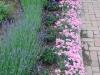 Dianthus, Hidcote Lavender