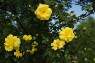 Harrison Yellow Rose