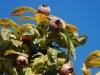 Medlar Tree Fruit